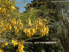 Weeping Kowhai New Zealand South
