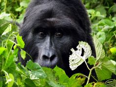Gorillas see tourists by appointment | Conservation | The Earth Times