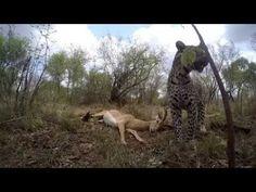 The Elusive Leopard Caught on GoPro at Camp Jabulani