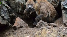 I don't really know where to start with this story about an animal that is now closest to my heart. Spotted Hyenas are interesting animals. Their whoops and calls during the night are a big p…
