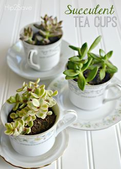 Succulent Tea Cups (Mother's Day Gift Idea) – Hip2Save