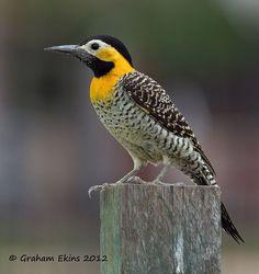 Eastern Flicker Woodpecker | Campo Flicker Woodpecker, habitats in eastern Brazil, Bolivia ...