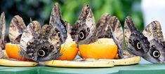 Species spotlight: the hooligan habits of the owl butterfly. #Butterfly #Insect