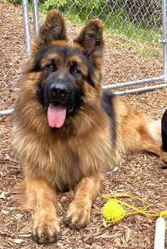 Long Coat German Shepherd, German Shepherds, Cute Dogs And Puppies, Doggies, Dog Shop, Kinds Of Dogs, Police Dogs, Puppy Eyes, Shepherd Puppies
