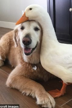 Dog And Duck Are Inseparable Best Friends - doggy style - Animals Wild Cute Funny Animals, Cute Baby Animals, Animals And Pets, Super Cute Animals, Amor Animal, Mundo Animal, I Love Dogs, Cute Dogs, Unlikely Animal Friends