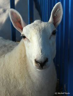 Border Cheviot Sheep - their fleece is renowned for providing spring and strength to textiles