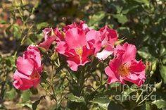 Rosas Art - Rose (rosa playgirl)  by Adrian Thomas
