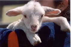 Someone brought a 4 day old orphaned lamb into Orschelns today to fit it for a harness and lead. It was soooo cute!,,,,, Baby Sheep, Sheep And Lamb, Little Bo Peep, My Little Baby, Barn Animals, Cute Animals, Baby Barn, Counting Sheep, Baby Faces