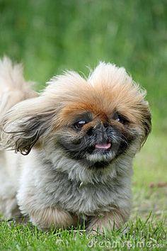 Pekingese dog close-up by Roughcollie, via Dreamstime