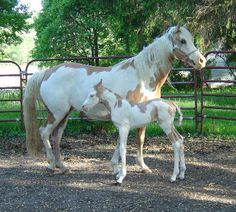 This mare sure threw her pattern & colors to her palomino paint foal