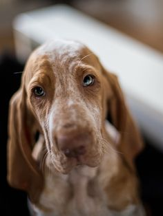 Sorrowful Looking Bracco Italiano Dog Black Lab Puppies, Dogs And Puppies, Doggies, I Love Dogs, Cute Dogs, English Coonhound, Purebred Dogs, Hunting Dogs, Dog Photography