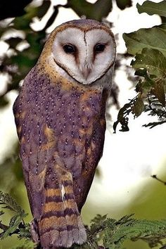 Barn owl or masked owl. I'm never sure.