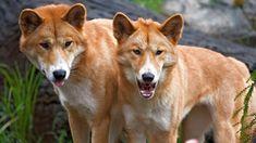 DINGO   The 21 Most Dangerous Creatures In Australia « RoyaLounge