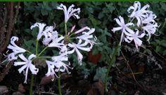 Nerine (Nerine bowdenii) - stunning autumn flowering bulb