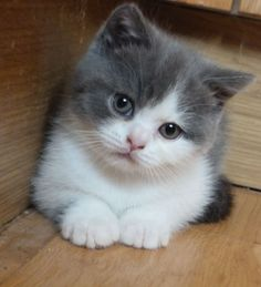 british shorthair kittens grey and white - Google Search