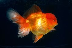 Which fancy goldfish can I keep all year round in ponds? Outdoor Ponds, Fish Care, All Year Round, Goldfish, I Can, Fancy, Canning, Garden, Aquarium Fish