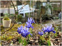 Iris reticulata 'Harmony': Blaue Blüten mit feiner gelber Zeichnung <3