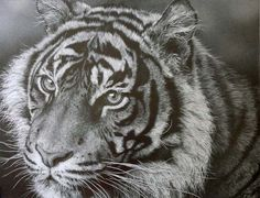 julie rhodes, Julie Rhodes - wildlife pencil artist, wildlife art, animal drawings, snow leopards, art, wildlife drawings, tigers, lions, bi...