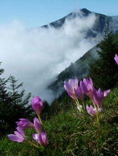 Colchicum Flowers from  Trabzon ⛵ Turkey
