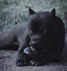 Baby Animals, Cute Animals, Cane Corso Dog, Black Cane Corso, Black Pitbull, Scary Dogs, Silky Terrier, Pitbull Terrier, Beautiful Dogs