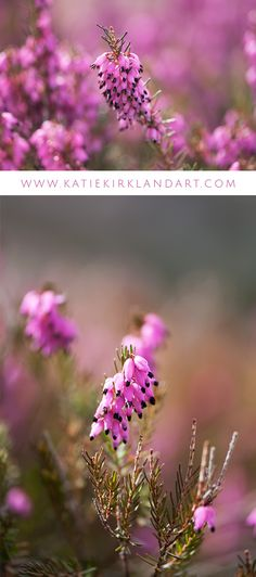"""""""Heath"""" and """"Heath Flowers"""" art prints - Spring heath flowers are pretty in pink in these two photographic art prints."""