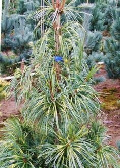 Pinus koraiensis Oculus Draconis     6' h x 3' w; strong root system, winter interest, weeping needles