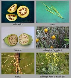 What some foods looked like before the introduction of selective breeding