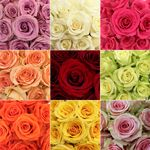 Wholesale Bulk Roses 50 Stems Your Colors - 50 for $90, 75 for $130, 125 for $180, 150 for $190, 200 for $210