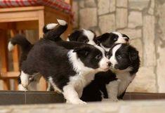 Border Collie Pups #bordercollie
