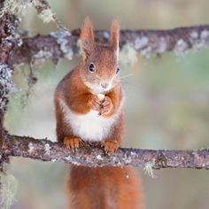 Red Squirrel perched on a branch of a tree.