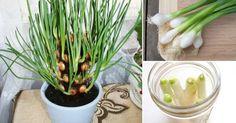 A partir de este fácil proyecto podrás comenzar tu propia parcela de cebollines en tu cocina al mismo tiempo que ahorras dinero.