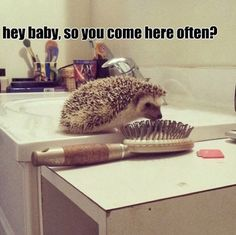 I don't know why it cracks me up to think of a hedgehog hitting on a hairbrush, but it does.