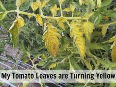 Help! My Tomato Leaves are Turning Yellow