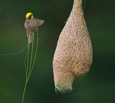 Los 6 nidos más asombrosos del mundo animal - Notas - La Bioguía