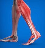 Illustrazione: Achilles tendon with lower leg muscles