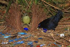 Satin Bowerbird (Ptilonorhynchus violaceus) Satin Bowerbirds male and female at bower. Art Of Seduction, Australian Birds, Native Plants, Bird Watching, Bird Art, Bird Feathers, Bird Houses, Make You Smile, Pet Birds