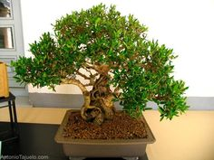Ficus trees are a common plant in the home. But for all of their popularity, they can be finicky. If you know how to care for a ficus tree, youa?ll be better equipped with keeping it healthy. Learn how here. Ficus Bonsai, Bonsai Art, Bonsai Plants, Bonsai Trees, Feng Shui Indoor Plants, Outdoor Plants, Plants Indoor, Indoor Trees, Indoor Bonsai
