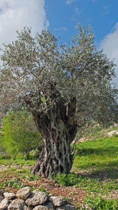 """Ein """"nur"""" 400 Jahre alter Olivenbaum in Nazareth.  """"und wohnte in der Stadt die da heißt Nazareth; auf das erfüllet würde, was da gesagt ist durch die Propheten: Er soll Nazarenus heißen.""""  Matthäus 2:23"""