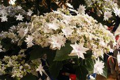shooting star hydrangea - great info