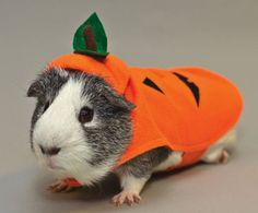 Guinea Pig pumpkin Halloween costume from All Living Things
