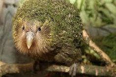 kakapo ile ilgili görsel sonucu