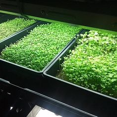 #microgreens  #verticalfarming