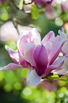 Magnolias: 10 Magnolia tree varieties to know Evergreen Magnolia, Magnolia Trees, Sweet Magnolia, Garden Trees, Trees To Plant, Garden Great Ideas, Fast Growing Shade Trees, Front Yard Garden Design, Fence Design