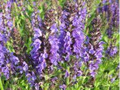 """Salvia nemorosa """" Marcus """" - šalvěj hajní Zahradnictví Krulichovi - zahradnictví, květinářství, trvalky, skalničky, bylinky a koření"""