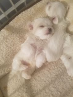 Fantastic Free dogs and puppies maltese Thoughts Complete you cherish your puppy? Needless to say, a person do. Appropriate pet dog caution in addition to exe Tiny Puppies, Teacup Puppies, Cute Puppies, Cute Dogs, Teacup Maltese, Baby Animals, Cute Animals, Malteser, West Highland Terrier