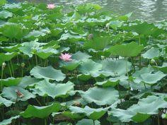 Flor de Lótus - Lagoa em Pequim