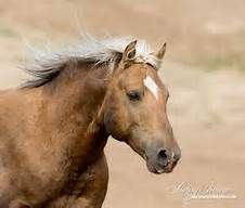 Golden palomino horse - wild mustang - Cloud's son Bolder runs back to his family band in the Pryor Mountains in Montana. Palomino, All The Pretty Horses, Beautiful Horses, Wild Mustangs, Horse Pictures, Wild Ones, Horse Photography, Horse Art, Clouds