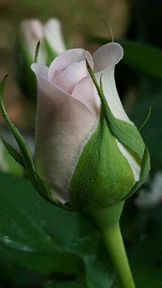 Beautiful Flowers Garden, Beautiful Roses, Pretty Flowers, Beautiful Gardens, White Roses, Pink Roses, Pink Flowers, Green Nature Wallpaper, Ronsard Rose