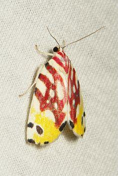 Tricoloured Flower Moth (Sinna floralis, Chloephorinae, Nolidae) | Flickr - Photo Sharing!