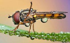 Dew on Dragon fly